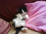 Chat chat europeen et il s appelle schumi - Européen  ()