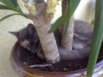 Chat chat européen cacouette - Européen  (0 mois)