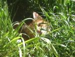 Chat Chat européen, Canaille - Européen  (0 mois)