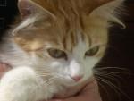 Chat mimine chatte  europeenne - Européen  (0 mois)