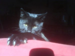 Chat pepito chat européen - Européen  (0 mois)