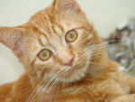 Chat LEO - chat européen de un an - Européen  (0 mois)