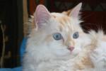 Chat angora, siamois, européen - Européen  ()