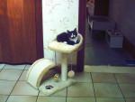 Chat chat européen - Européen  (0 mois)