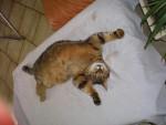 Chat européen tigré/grigri - Européen  (0 mois)