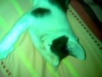 Chat Calin, le chat européen de mes parents - Européen  (0 mois)