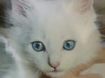 Chat chat européen nomé Pearl - Européen  (0 mois)