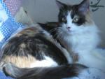 Chat européens à poil longs - Européen  (0 mois)