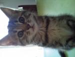 Chat bouille chatte européenne - Européen  (0 mois)