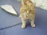 Chat ponpon chat européen - Européen  (0 mois)