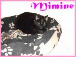 Chat europeen mimine - Européen  (0 mois)