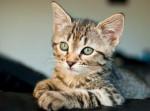 Chat Kara - chat européen tigré - Européen  (0 mois)