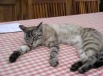 Chat européens tigré - Européen  (0 mois)