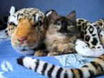 Chat européenne écaille de tortue - Européen  (0 mois)