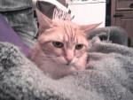 Chat chat européen CARAMEL et LEO - Européen  (0 mois)