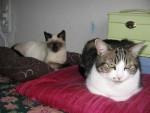 Chat Pepette, européenne et bébé Louna, siamoise - Européen  (0 mois)