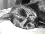 Chat Chat europeen noir - Européen Femelle (0 mois)