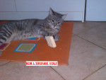 Chat Bob l eponge - Européen Femelle (0 mois)