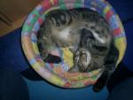 Chat Mimi tout vas bien - Européen Femelle (0 mois)