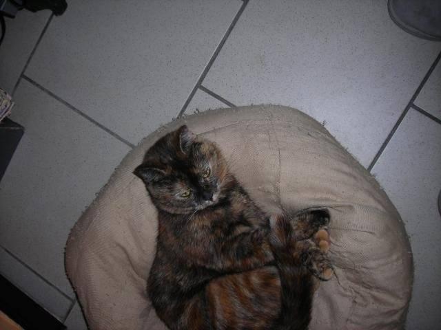 Chat bagheera  europeen - Européen  (0 mois)
