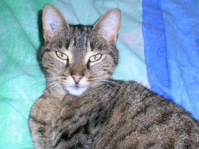 Chat chat européen   nom : chipie - Européen  (0 mois)