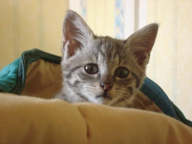 Chat un chat européen ---> *Méo* - Européen  (0 mois)
