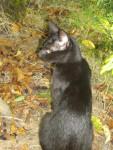 Chat jeanette chat de maison type oriental - Chat Caniche  ()