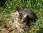 Chat chipeke chat de maison - Chat Caniche  (0 mois)