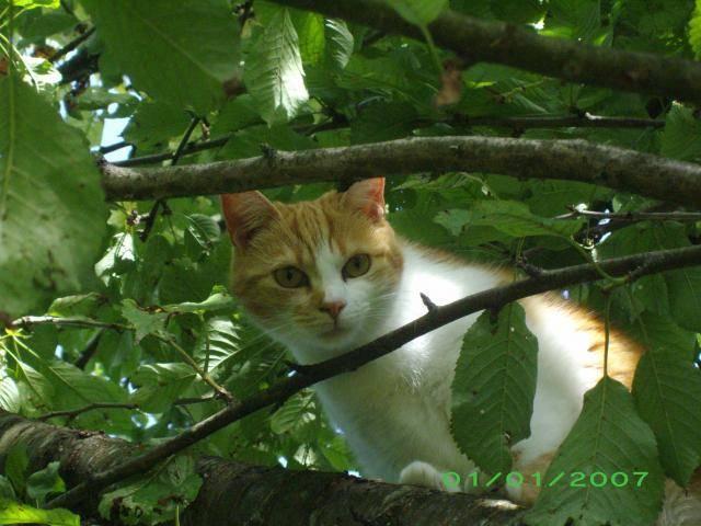 Chat chat de maison  dora - Chat Caniche  ()