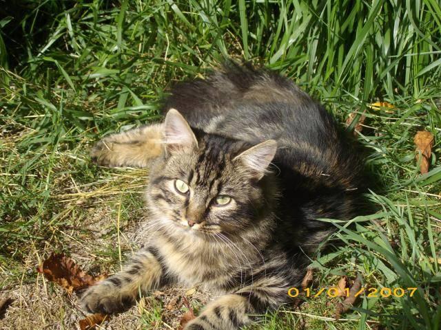Chat chipeke chat de maison - Chat Caniche  (0 mois)