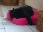 Chat chat norvégien-poussy - Norvégien  ()