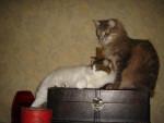 Chat Bruno et Blanche Neige Chats des Forêts Norvegiennes - Norvégien  (0 mois)