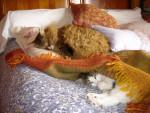 Chat Chats des forêts norvégiennes Simba et sa cousine Blanche neige - Norvégien  ()