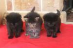 Chat norvegien ,le trio de la chatterton - Norvégien  (0 mois)