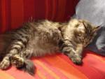 Chat Chats des forêts norvégiennes Oli - Norvégien  (0 mois)