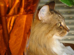 Chat Chats des forêts norvégiennes Simba  - Norvégien  ()