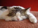 Chat Blanche Neige, chat des forets norvegiennes - Norvégien  (0 mois)