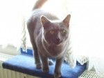 Chat Candy - Chausie Femelle (7 mois)