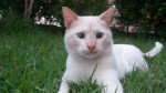 Chat  - Colourpoint Shorthair  (0 mois)