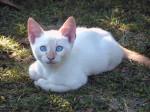 Chat Bekas - Colourpoint Shorthair Mâle (0 mois)