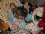 Chat Nefer-titi - Cornish Rex Femelle (2 ans)