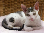 Chat Le Cornish Rex - Cornish Rex  (0 mois)