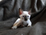 Chat DEVON REX - Devon Rex  ()