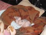 Chat Tess - Donskoy Femelle (0 mois)