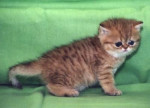 Chat Exotic Shorthair - Exotic Shorthair  (0 mois)