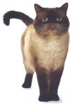 Chat Exotic Shorthair - Exotic Shorthair  (0 mois)