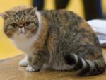 Chat exotic cat - Exotic Shorthair Femelle (0 mois)