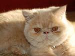 Chat Exotic Shorthair - Exotic Shorthair Femelle (0 mois)