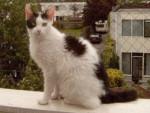 Chat black and white - Laperm Femelle (0 mois)