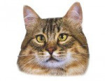 Chat Pixie Bob - Lynx Domestique (Pixie Bob)  (0 mois)